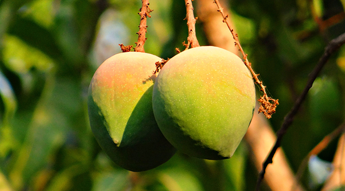 Packaging and export reduce the food waste of Kenyan mangos by 45%